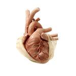 modello anatomico cuore / per cardiochirurgia / per chirurgia toracica / di bambino