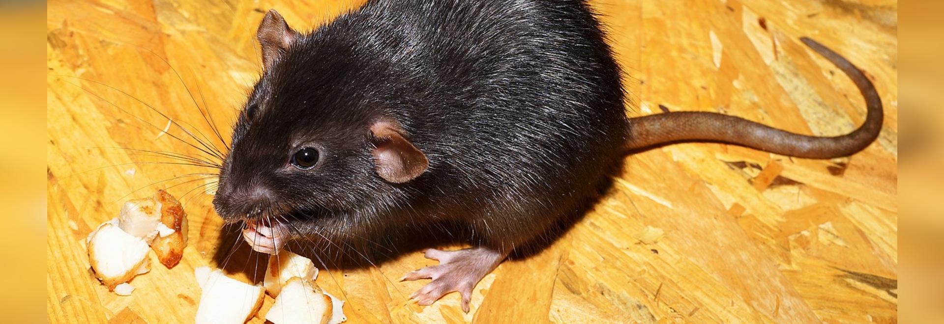 I ratti del paraplegico camminano e riacquistano la sensibilità dopo il trattamento della cellula staminale