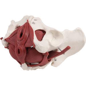 modello anatomico di pavimento pelvico / didattico / femminile / con muscolatura