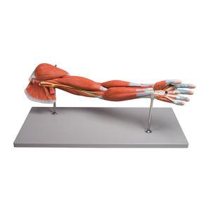 modello anatomico braccio / muscolo / didattico