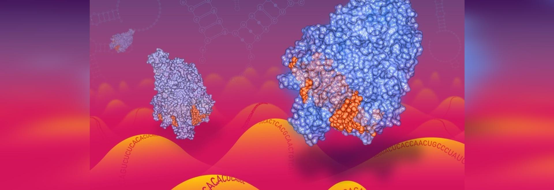 Le guide ottimizzate del sistema CRISPR possono mirare all'RNA, incluso il Coronavirus RNA