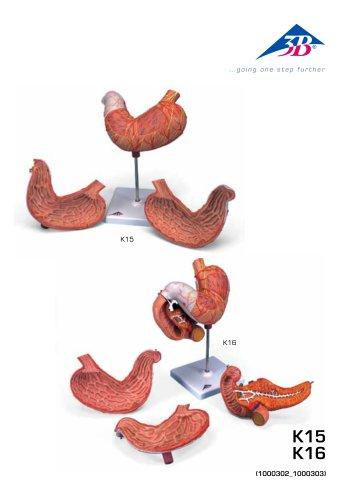 Manuale di prodotto - Stomaco - 3B Smart Anatomy - K15